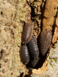 Porcellio scaber Latreille, 1804 