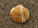 Acanthocardia tuberculata 