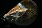 Nautilus pompilius L. 1758