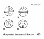 Gonyaulax tamarensis Lebour 1925 Original description