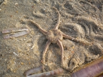 Ophiuroidea (brittle stars)