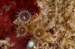 an undescribed zoanthid, Neozoanthus sp.