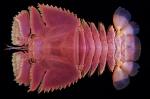 Ibacus ciliatus