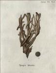 Spongia suberosa Esper, 1794
