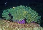 Heteractis magnifica Sulawesi