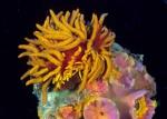 Phestilla melanobrachia on Tubastrea coccinea