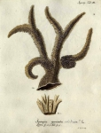 Spongia muricata, Esper's plate III