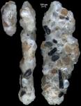 Ammoscalaria georgescotti NZ holotype