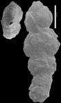 Ammoscalaria georgescotti NZ paratype