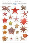 St. Lawrence sea star poster