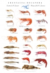 St. Lawrence shrimps poster (Crustacea-Decapoda)