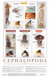 Cephalopods of the St. Lawrence