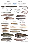 Eel-like fishes of the St. Lawrence