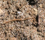 Pachymerium ferrugineum, Crete (Stelios Simiakos)