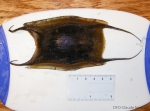 Thorny skate egg case