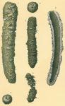 Pelosina cylindrica