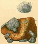 Tholosina vesicularis