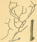 Dendrophrya arborescens