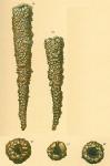 Jaculella acuta