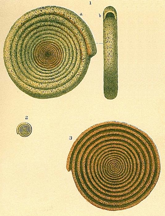 Ammodiscus anguillae