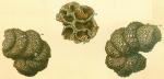 Turritellella spectabilis