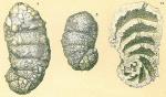 Ammobaculites calcareus
