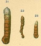 Ammobaculites filiformis