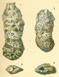 Ammoscalaria pseudospiralis