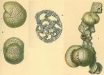 Cribrostomoides subglobosum