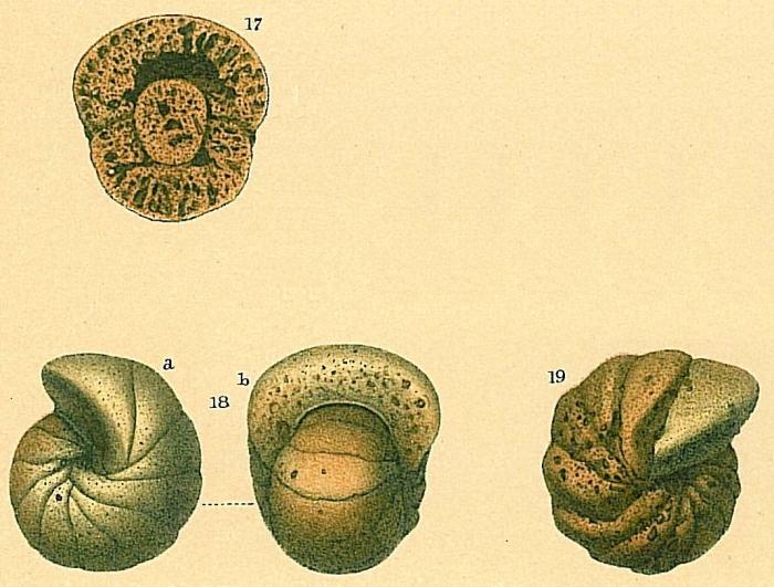 Cyclammina rotundidorsata
