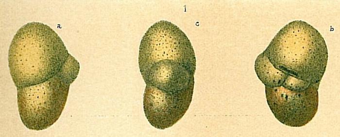 Cystammina pauciloculata