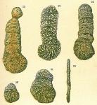 Eratidus foliaceus