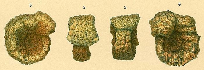 Evolutinella rotulata