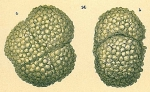 Haplophragmoides sp.nov2.