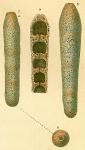 Loeblichopsis cylindrica