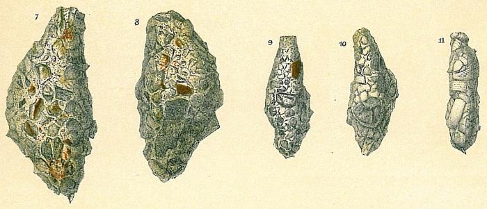 Reophax fusiformis