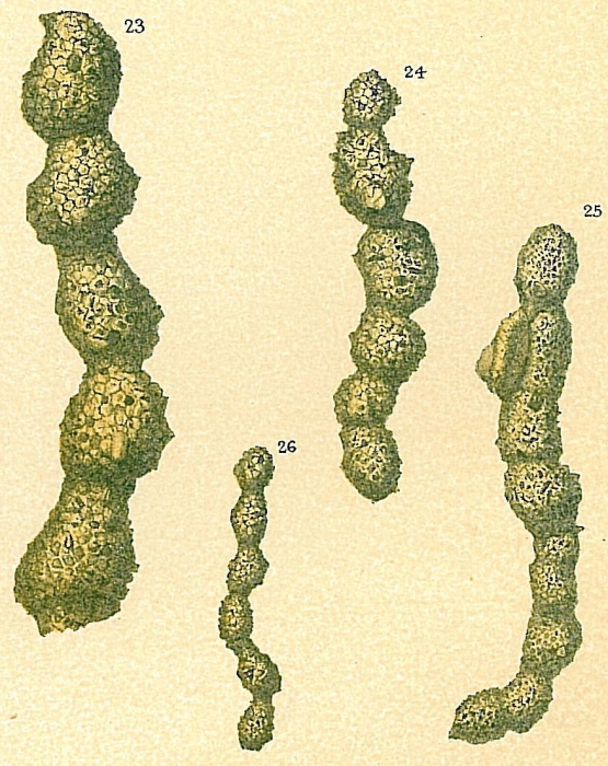Subreophax aduncus