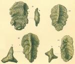 Triplasia variabilis