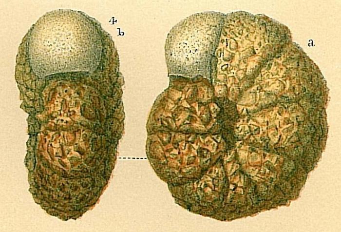 Veleroninoides crassimargo