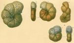 Veleroninoides jeffreysii