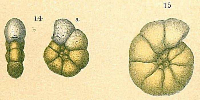 Veleroninoides wiesneri