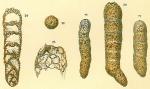 Bigenerina cylindrica
