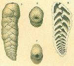 Planctostoma luculenta