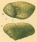 Sahulia conica