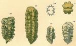 Siphoniferoides siphoniferus, author: Tomas Cedhagen