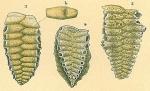 Siphoniferoides transversarius
