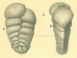 Siphotextularia philippinensis
