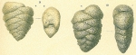 Textularia pseudogramen