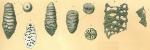 Tritaxilina caperata