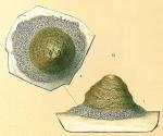 Tritaxis australis